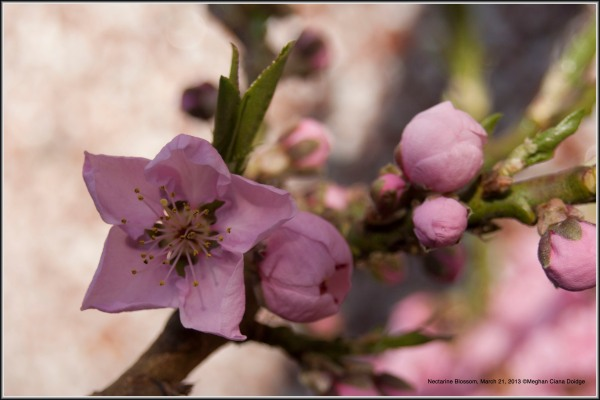 nectarine in bloom, march 21, 2013