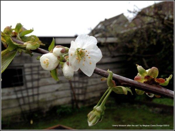 Stella Cherry Tree Blossom