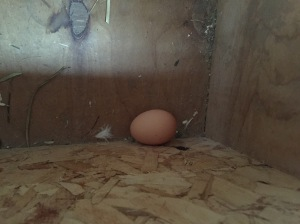 First pullet egg from our Blue-Laced Red Wyandotte Splash hens