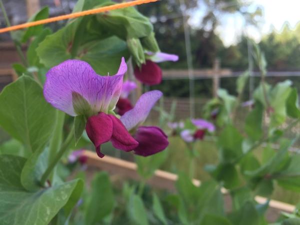 Purple pea flowers